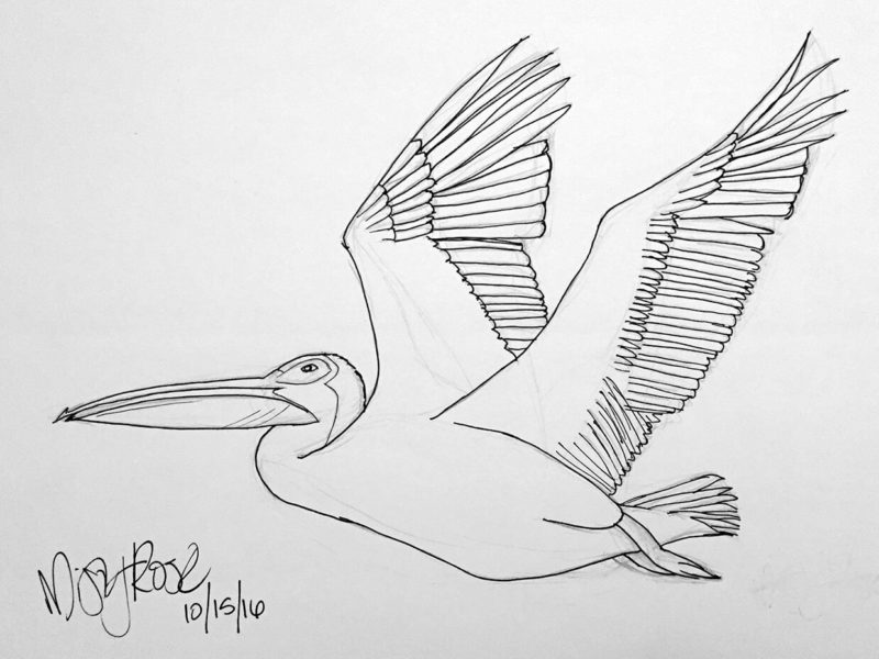 Draw 21 Days: Refinement drawing of pelican